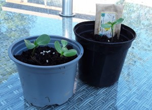 Sally Harris Sunflowers Growing