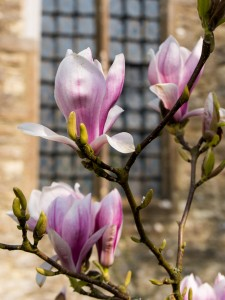 Headcorn Church Magnolia